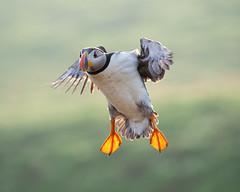 Landing gear down! (susie2778) Tags: skomer olympus natureslenscouk puffin fraterculaarctica olympusm40150mmf28 omdem1mkii bif nationaltrust