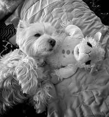 Best Friends, Awaiting Belly Rubs (mswan777) Tags: pet dog cute stuffed animal bed sleep paws hair west highland white terrier black monochrome apple iphone iphoneography mobile rest indoor