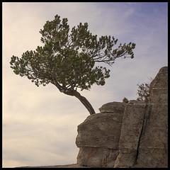 Catalina Hwy # 10 2019; Windy Point Tree (hamsiksa) Tags: mountains rocks santacatalinamountains coronadonationalforest skyislands trees coniferous evergreen stunted arizona tucson pimacounty sonorandesert