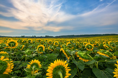 Morning Sunflowers (B.E.K. Photography) Tags: sunflower sunflowers caledon ontario canada field yellow blue white clouds sky green day morning autumn fall outdoor landscape bek briankrouskie nikond850