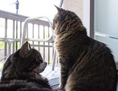 Gizmo and Sophie (runningman1958) Tags: cat kitten kitties nikond7200 nikon d7200 feline pet