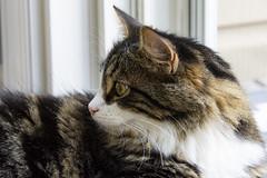 Gizmo (runningman1958) Tags: cat kitten kitties nikond7200 nikon d7200 feline pet