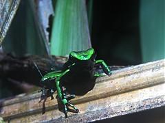 Ameeraga trivittata (Santiago Bullard C.) Tags: ameeragatrivittata ameeraga rana amphibia herpingperú dendrobatidae frog poisondartfrog herping wildlifephotography wildlife