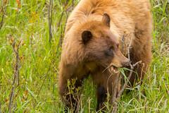 Spring feed (ChicagoBob46) Tags: cinnamonblackbear blackbear bear yellowstone yellowstonenationalpark nature wildlife coth5 naturethroughthelens ngc npc