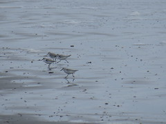 Sanderlings - Texas by SpeedyJR (SpeedyJR) Tags: galvestontx galvestoncountytx ©2019janicerodriguez sanderling birds wildlife nature galvestontexas texas speedyjr