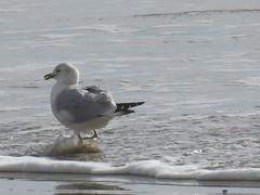 Ring-billed Gull - Texas by SpeedyJR (SpeedyJR) Tags: galvestontx galvestoncountytx ©2019janicerodriguez ringbilledgull gulls birds wildlife nature galvestontexas texas speedyjr