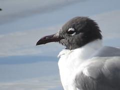 Laughing Gull - Texas by SpeedyJR (SpeedyJR) Tags: galvestontx galvestoncountytx ©2019janicerodriguez laughinggull gulls birds wildlife nature galvestontexas texas speedyjr