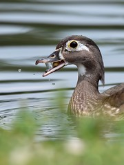 (Melinda G Pix) Tags: snacktime nature outdoor waterfowl bird woodduck duck