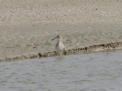 Willet - Texas by SpeedyJR (SpeedyJR) Tags: galvestontx galvestontxboddekerrd willet birds wildlife nature galvestontexas texas speedyjr