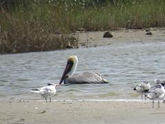 Royal Tern and Brown Pelican - Texas by SpeedyJR (SpeedyJR) Tags: galvestontx galvestontxboddekerrd royaltern terns brownpelican pelicans birds wildlife nature galvestontexas texas speedyjr