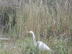 Great Egret - Texas by SpeedyJR (SpeedyJR) Tags: galvestontx galvestontxboddekerrd greategret egrets birds wildlife nature galvestontexas texas speedyjr