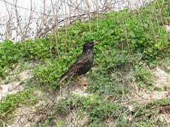 European Starling - Texas by SpeedyJR (SpeedyJR) Tags: galvestontx galvestontxboddekerrd europeanstarling starlings birds wildlife nature galvestontexas texas speedyjr