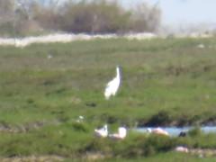 Whooping Crane - Texas by SpeedyJR (SpeedyJR) Tags: ©2019janicerodriguez aransasnwr aransascountytx whoopingcrane cranes birds wildlife nature texas speedyjr