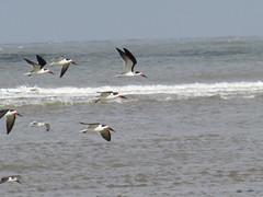 Black Skimmers - Texas by SpeedyJR (SpeedyJR) Tags: galvestontx galvestontxboddekerrd blackskimmer skimmers birds wildlife nature galvestontexas texas speedyjr