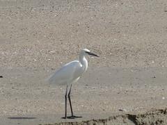 Snowy Egret - Texas by SpeedyJR (SpeedyJR) Tags: galvestontx galvestontxboddekerrd snowyegret egrets birds wildlife nature galvestontexas texas speedyjr