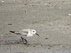Sanderling - Texas by SpeedyJR (SpeedyJR) Tags: galvestontx galvestontxboddekerrd sanderling birds wildlife nature galvestontexas texas speedyjr