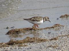 Ruddy Turnstone - Texas by SpeedyJR (SpeedyJR) Tags: galvestontx galvestontxboddekerrd ruddyturnstone turnstones birds wildlife nature galvestontexas texas speedyjr