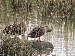 Mottled Ducks - Texas by SpeedyJR (SpeedyJR) Tags: galvestontx galvestontxboddekerrd mottledduck ducks birds wildlife nature galvestontexas texas speedyjr