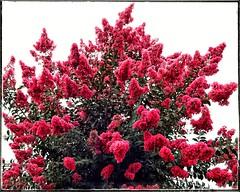 Crepe Myrtle   Powers Ferry Road   Marietta, Georgia (steveartist) Tags: trees floweringtrees crepemyrtle phototoaster sonydscwx220 stevefrenkel phototoasterfilters snapseedframe