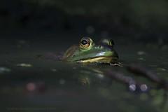 join me...the water's fine (don.white55 That's wild...) Tags: americanbullfroglithobatescatesbeianus donpwhitephotography donwhite canone0s7od tamronsp150600mmf563divcusda011 frog amphibian herp bigeye canon tamron150600mm nature wildlife harrisburgpennsylvania wildwoodlake wildwoodpark wildwoodnaturepreserve lowpov lowangle flickrdonwhite55 lens marsh outdoors oldpennsylvaniacanal pennsylvaniawildlife reflection swamp thatswildnaturephotography usa ngc