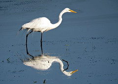 True beauty touches the heart, not the eyes.... Anonymous (Laura Rowan) Tags: egret greategret bird birding summer reflection morning horicon