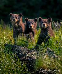 Triplets (~ Bob ~) Tags: cuboftheyear khutzeymateen bc nikon cute khutzlodge coy cubs canada feisol britishcolumbia bear grizzly