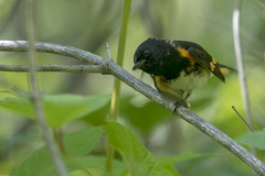 American redstart (Setophaga ruticilla) (octothorpe enthusiast) Tags: saskatchewan finlaysonisland bird americanredstart setophagaruticilla