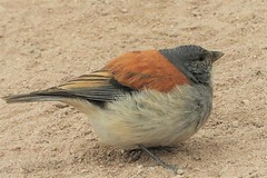Life Bird: Red-Backed Sierra-Finch (Ruby 2417) Tags: sierrafinch bird wildlife nature finch rare rarity andes taito geysers mountains chile
