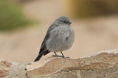 Life Bird: Plumbeous Finch (Ruby 2417) Tags: plumbeous finch rare rarity bird wildlife nature taito geysers andes mountains atacama chile