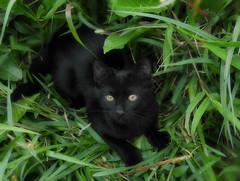 Zulu is enjoying the rainy season (Ani Carrington) Tags: cat kitten black blackcat blackkitten sweet pet eyes ambereyes green grass garden