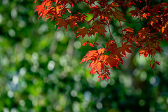 Japanese Maple Adds a Splash of Color Among the Green (John Brighenti) Tags: outside outdoors nature rockville maryland twinbrook natural summer green suburban bokeh fepthoffield sunshine sunny shade tree japanese maple red leaves foliage colorful branches twigs sticks sony a7rii ilce7rm2 sel100400gm gmaster gm bealpha sonyshooter emount femount zoom telephoto
