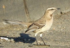 Life Bird: Chilean Mockingbird (Ruby 2417) Tags: chilean mockingbird bird wildlife nature chile coast shore eclipse