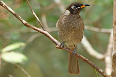 Bridled honeyeater (aussiegypsy_Katherine, NT) Tags: honeyeater bridled lichenastomusfrenatus endemic conspicuous darkbrown blackish head eartuft yellow bridle medium size bird birdlife wild wildlife australia australian aussie aussiegypsy lorraineharris athertontablelands wondecla fnq farnorth northeastern queensland qld rainforest animal animalia chordata aves passeriformes meliphagidae bolemoreus bfrenatus tropical tropics upland forest distinctive front view profile perch perched branch outdoors nature blue iris eye lookingatcamera watching alert restrictedrange subtropical wettropics fullbody mountainhoneyeater uncommon highland woodland