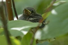 American redstart (Setophaga ruticilla) (octothorpe enthusiast) Tags: saskatchewan finlaysonisland bird americanredstart setophagaruticilla fledgling