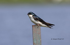 Tree Swallow (Tachycineta bicolor) (Gerald (Wayne) Prout) Tags: treeswallow tachycinetabicolor animalia chordata aves passeriformes hirundinidae tachycineta bicolor tree swallow swallows songbirds perchingbirds bird birds animal animals fauna migratory wildlife nature gillieslakeconservationarea cityoftimmins northeasternontario ontario canada prout geraldwayneprout canon canoneos60d eos 60d digital dslr camera canonlensef70300mmf456isusm lens ef70300mmf456isusm photographed photography gillieslake conservation area city timmins northernontario northern northeastern