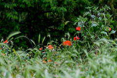 A meadow (KPPG) Tags: green hct crazytuesday mohn poppy wiese meadow flowers blumen nature natur park paris france frankreich frühling spring