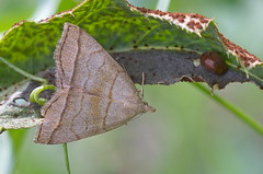 Salu-vaksiköölane; Herminia tarsicrinalis; Shaded Fan-foot (urmas ojango) Tags: lepidoptera liblikalised insecta putukad insects moth nationalmothweek erebidae herminiinae herminia vaksiköölane herminiatarsicrinalis saluvaksiköölane