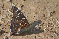 Haavalumik; Limenitis populi; Poplar Admiral (urmas ojango) Tags: lepidoptera liblikalised insecta putukad insects butterfly koerlibliklased nymphalidae haavalumik limenitispopuli poplaradmiral