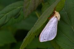 Humala-eistekedrik; Hepialus humuli; Ghost Moth ♂ (urmas ojango) Tags: lepidoptera liblikalised insecta putukad insects moth eistekedriklased hepialidae humalaeistekedrik hepialushumuli ghostmoth nationalmothweek