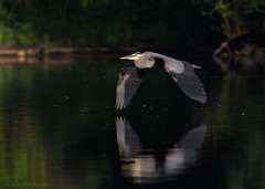 Great Blue Heron in flight. (Estrada77) Tags: greatblueheron herons inflight wildlife birds birding outdoors animals nature kanecounty illinois foxriver water summer2019 nikon nikond500200500mm