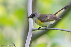 paruline flamboyante et sa proie.jpg (Sylvain Bédard) Tags: americanredstart oiseau parulines setophagaruticilla animaux parulineflamboyante