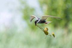 Vrijedan dan 🌅 (Julija88) Tags: bird birdlifeserbia birdlifeinternacional birding birdwatching ornitology nature wildlife wildlifephotography outdoor river čigra tern