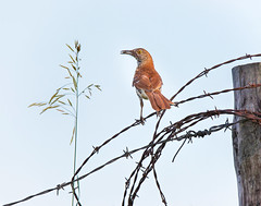 Brown Thrasher with just a morsel (dshoning) Tags: brownthrasher bird food fence barbedwire country gravelroad iowa june