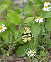 Dainty sulphur (justkim1106) Tags: butterfly sulphur daintysulphur nature insect wingedinsect yellow yellowbutterfly smallyellowbutterfly texasinsect texas