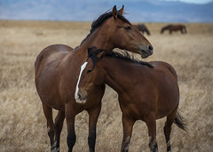 Mom & Colt (JasonCameron) Tags: utah west desert wild horses roam field grass hot summer family love care affection