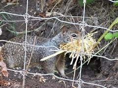 Caught in action (PenangCA) Tags: ranchosanantonio california summer outdoor hiking trail permanentecreektrail lowermeadowtrail highmeadowtrail wildcatlooptrail animal nature