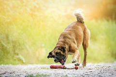 Kitty (Aileen Rese) Tags: mutt strahumi strasenhund tierschutz rescue dog hund action sonnenuntergang sonne sunset golden ingelheim bingen rhein rhine mainz germany spanish