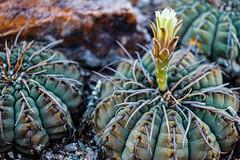 Budding chin cactus flower (Stephen G Nelson) Tags: plant cactus chincactus desert botanicalgarden tucson arizona