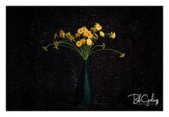 Weeds got talent (Bob Geilings) Tags: weeds stilllife flowers yellow dark studio green mood flora nature summer wildflowers
