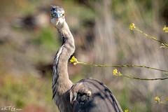 _MG_9099 Great Blue Heron Watching Me a (katiepie89) Tags: greatblueheron blueheron heron bird marsh